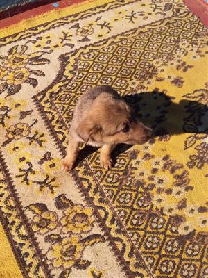 purebred Australian shepherd female puppy