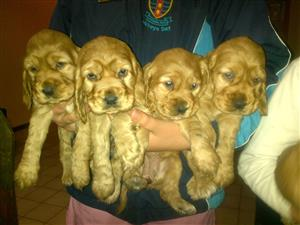 Golden Cocker Spaniël Puppies