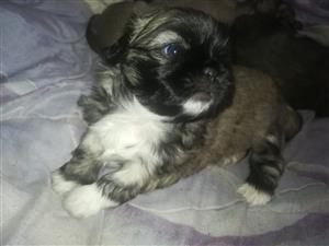 Pekingese Pups X4 for sale