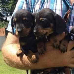 Mini Black and Tan Dachshund pups
