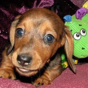 Mini Tan Dachshund male puppy