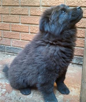 Black female chow chow puppy available to good home