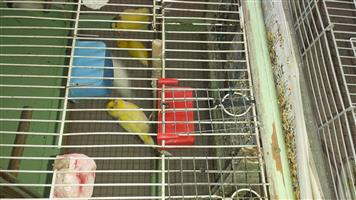 Beautiful Canaries for sale, both male and female available