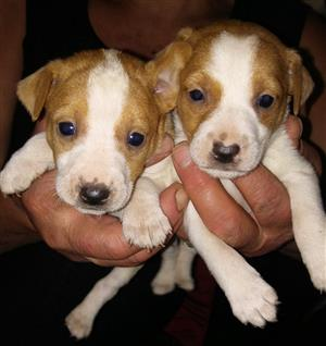 Jack Russels for Sale in Westonaria
