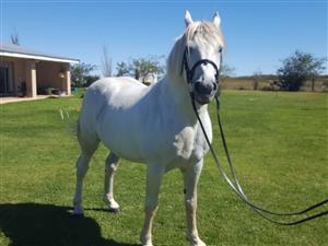our great percheron cross stallion