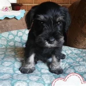 Adorable Miniature Schnauzer puppies