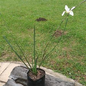 For sale Fortnight Lily (Dietes grandiflora)