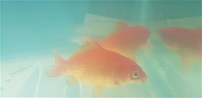 Very large pair of comet goldfish for sale