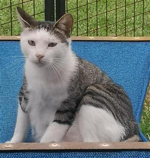 If you are looking for the ULTIMATE cat, we're keeping him just for you! Adopt Ice from CatzRus.