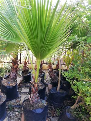 Waaierpalms / Fan palms in Constantia Park