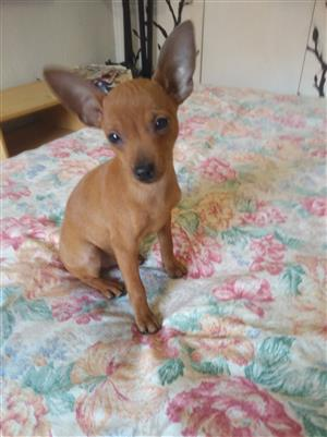 Lovely Purebred Miniature Pinscher Puppies
