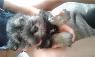 Schnauzer pupies