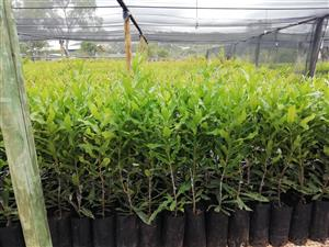 Grafted Macadamia 816 trees for sale