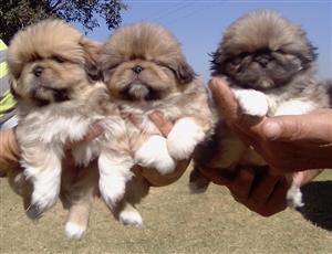 Pekingese Pups For Sale Mpumalanga - Kendal/Balmoral (Delmas)
