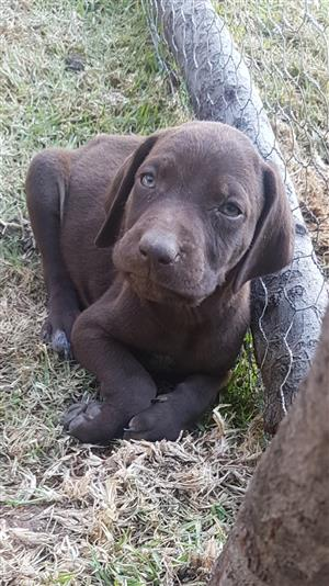 KUSA registered German Shorthaired Pointer (GSP) puppies