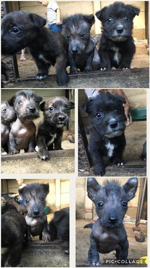 Scottish terrier x puppies