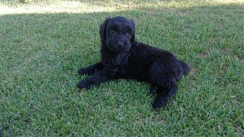 Flandoodle puppies FOR SALE !