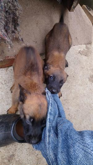 Pedigree Malinois pups for sale