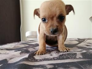 Teacup chihuahua pups