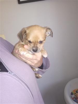 chihuahua cross dachshund