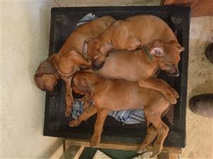 Rhodesiese rifrug hondjies