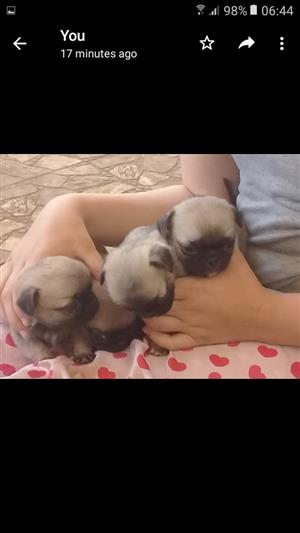 Pugs available