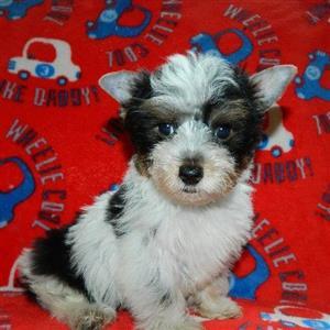 Biewer Terrier male puppy