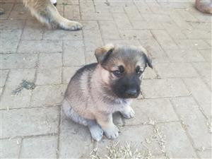 German sheppard puppies