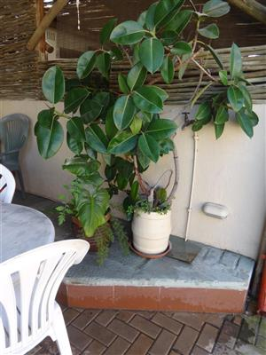 Rubber Plant in Pot