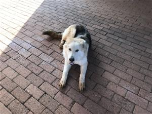 German Shepard Puppy for Sale