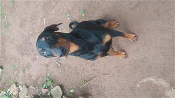 Purebred Doberman Pups