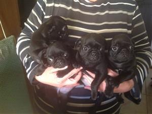 Black pug puppies
