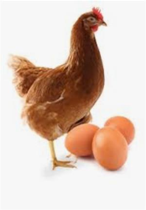 Point of laying hens
