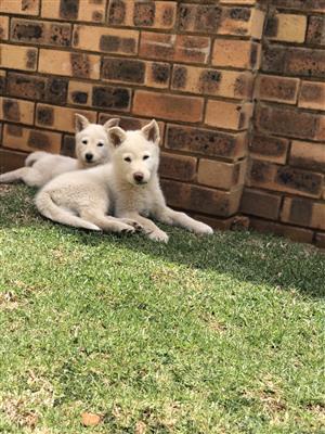 Pure white Huskys
