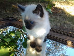 Ragdoll seal point and lynx point kittens