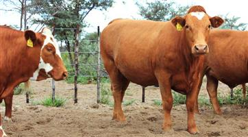 Supper Quality Bonsmara cattle For Sale