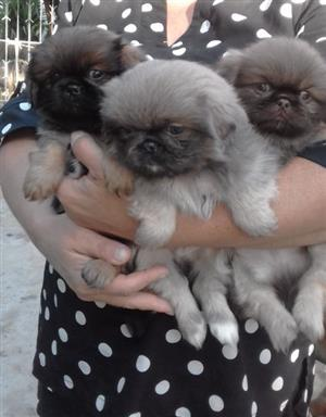 Pekiganese Puppies for Sale