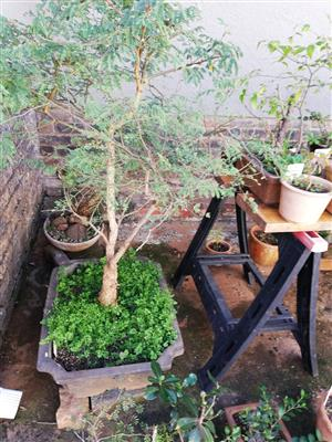 bonsai in Gardening, Outdoors and DIY in South Africa | Junk