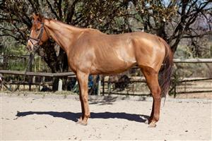Super stunning and talented Tb gelding