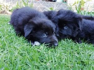 German Shepherd x Belgian Shepherd Puppies