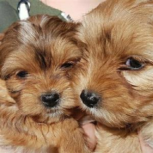 Adorable Morkie Pups for sale!