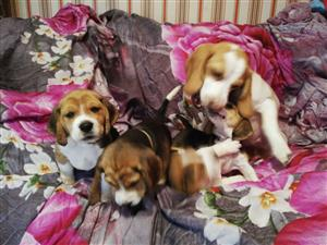 Lovely beagle puppies 8 weeks old