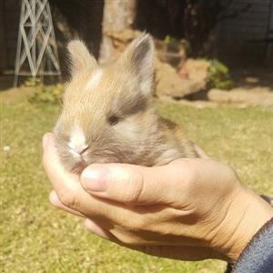 Jersey Wooly Angora bunnies