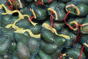 Feurte Avocados picked from Venda available for sale