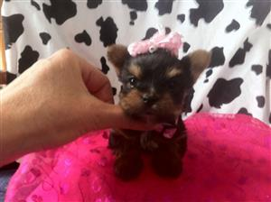 3 Miniature Yorkie Puppies