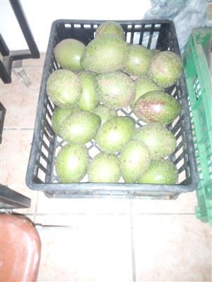 Avocados. Extra large. Between 900g and 1.3 kg. R20 per avo. 2-5 days to ripen. Pretoria Gardens