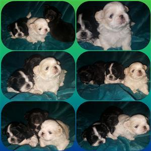 Pikanees puppies