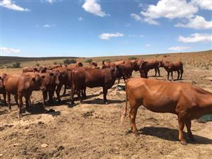Beef and Dairy cattle for sale
