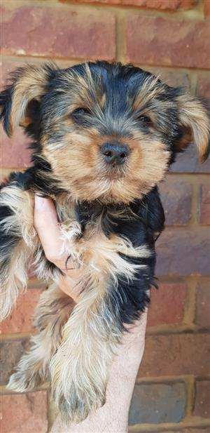 Beautifull  yorkies te koop