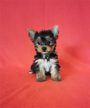Female Small size Yorkie puppy
